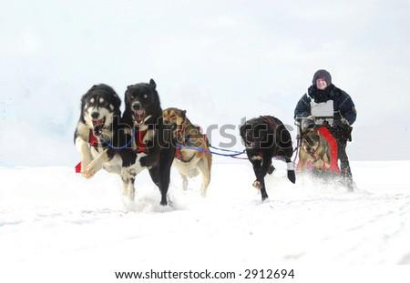 dog sled action - stock photo