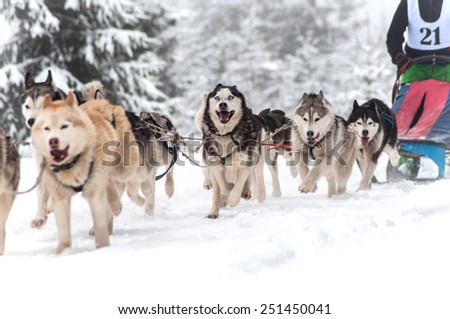 Dog sled race - stock photo