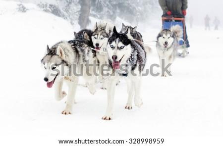 Dog sled race - stock photo