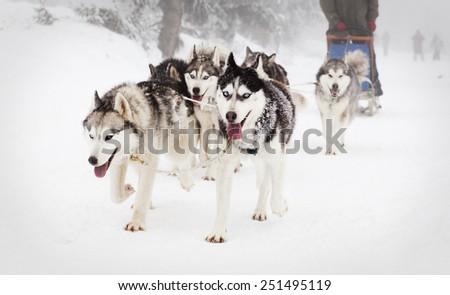 Dog sled race with huskies - stock photo