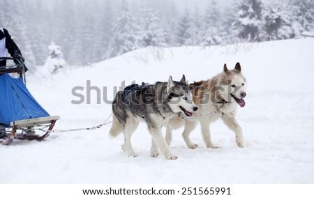Dog-sledding with huskies - stock photo