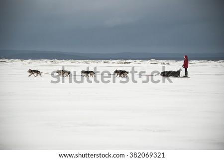 Dog sleds running on the White Sea. Expedition Fedor Konyukhov. Russia, Arkhangelsk Region, Onega District. February, 2016 - stock photo