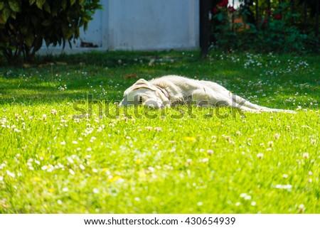 dog sleeping in the garden.dog sleeping.dog sleeping on green.dog sleeping on green grass.dog sleeping on meadow. - stock photo