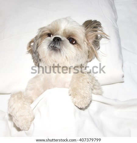 dog sleeping on a pillow in bed under the covers - stock photo