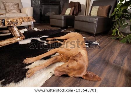 dog sleeping on the floor of the living room - stock photo