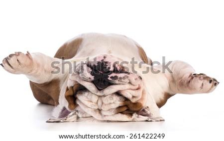 dog sleeping upside down isolated on white background - bulldog - stock photo
