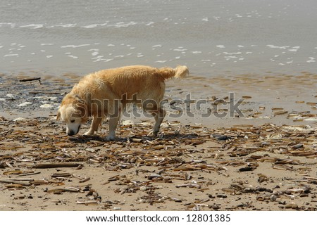 Dog smelling shells in the beach
