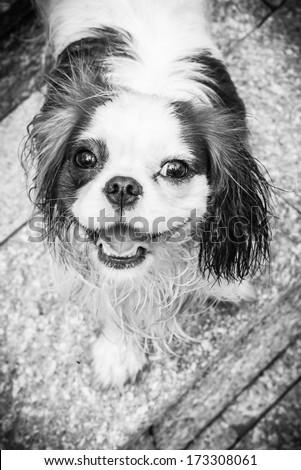 Dog smile in black and white  - stock photo