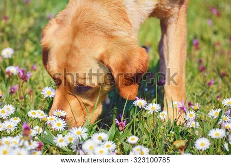 Dog Sniffing Chamomiles FLowers on the Field - stock photo