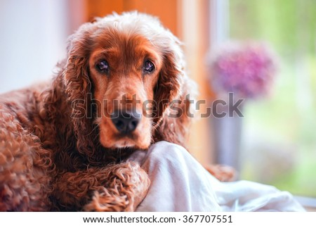 Dog Spaniel on the porch, day - stock photo