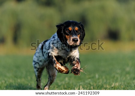 dog Spaniel runs and funny ears pressed - stock photo