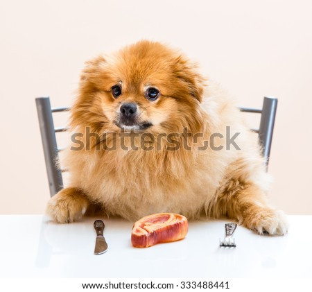 dog Spitz is sitting at the table with knife and fork - stock photo