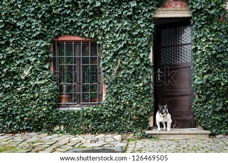 dog standing in front of house covered by ivy - stock photo