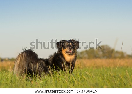 Dog standing on a meadow and looks attentively