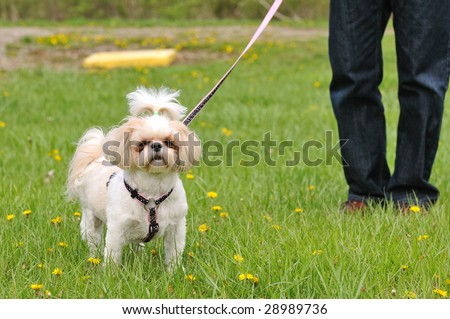 Dog standing on the grass wearing a leash and her owner's legs are in the distance, out of focus.  Obeying the leash law. - stock photo