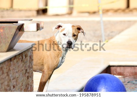 Dog staring around the corning of the pool waiting to jump in with the ball - stock photo