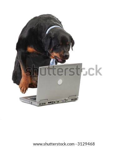 dog staring at the computer, concept of commerce and security, isolated on white - stock photo