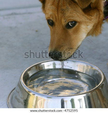 dog staring from water bowl