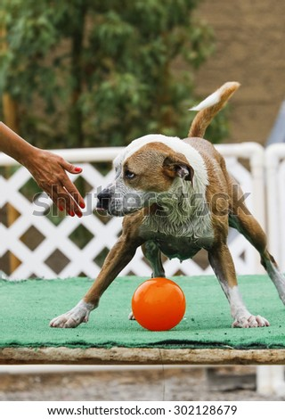 Dog sticking her tongue out while someone tries to take her ball - stock photo