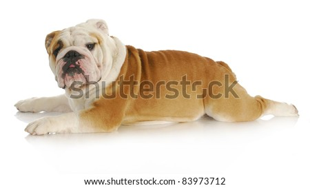 dog stretched out laying down - english bulldog - 2 years old