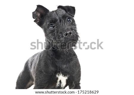 Dog studio image on white background - stock photo
