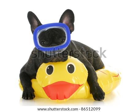 dog swimming - french bulldog wearing swimming mask laying on yellow duck life preserver - stock photo