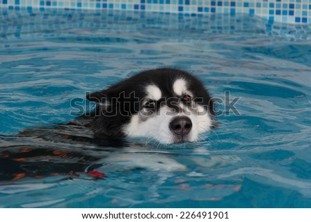 dog swimming in the pool - stock photo