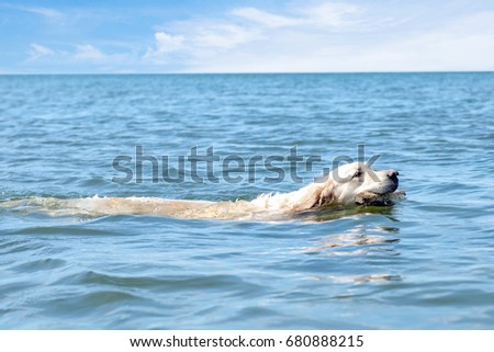 Dog swimming in they ocean and playing with a stick