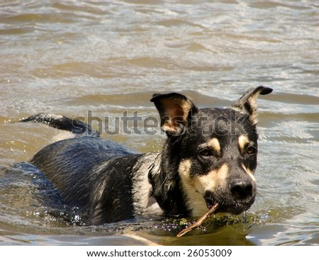 dog swimming with stick
