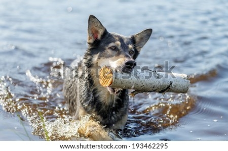 Dog swims with a stick thrown her master - Russia - stock photo