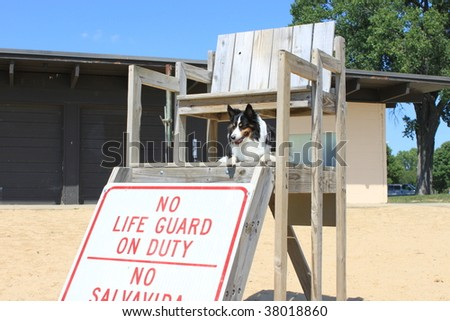 Dog taking over lifeguard duty