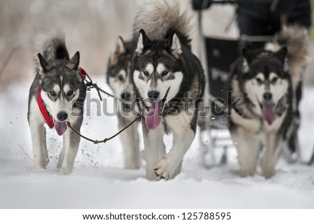 dog team is running in the snow at sled dog race on snow in winter - stock photo