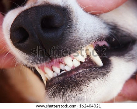 dog teeth 26 - stock photo