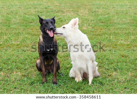 Dog tenderness. One dog licks another in the face.
