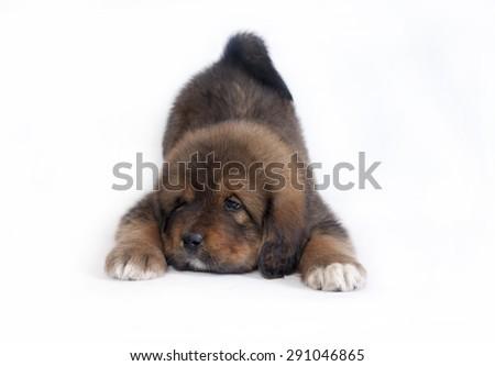 dog Tibetan Mastiff - stock photo
