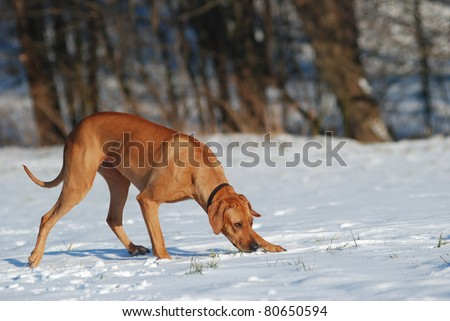 Dog tracking in snow - stock photo