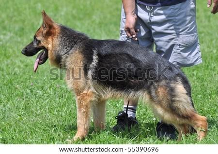 dog training german shepherd - stock photo