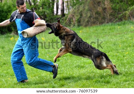 german shepherd attack training attack dog stock photos images pictures shutterstock 8194
