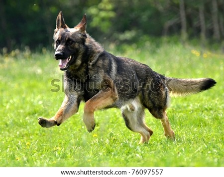 dog training german shepherd - stock photo