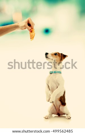Dog training. Jack Russell Terrier sitting up and begging a treat, toned image