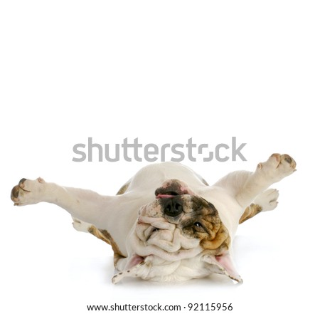 dog upside down - english bulldog laying on back looking up - stock photo