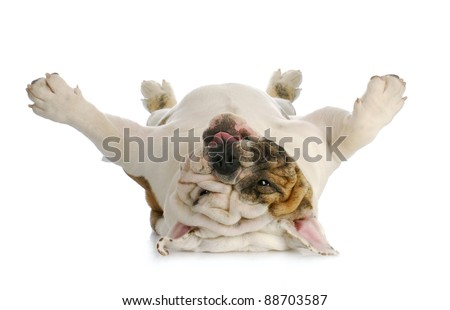 dog upside down -  english bulldog laying upside down with reflection on white background - stock photo