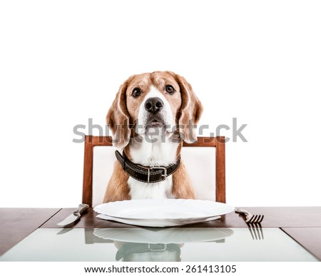 Dog waiting for a dinner on the served table - stock photo