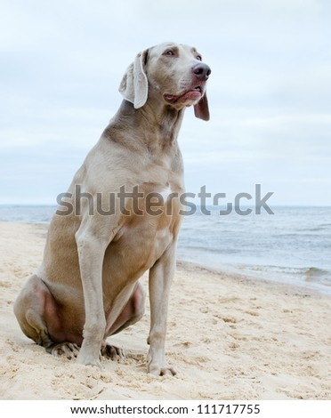 Dog waiting for his  owner  on seacoast