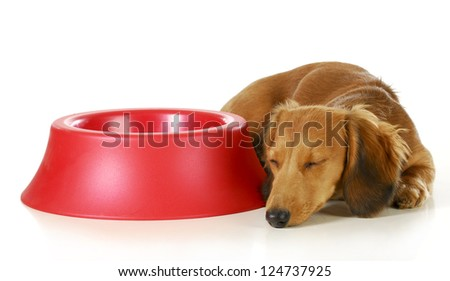 dog waiting to be fed - long haired miniature dachshund sleeping beside empty dog food dish isolated on white background - stock photo