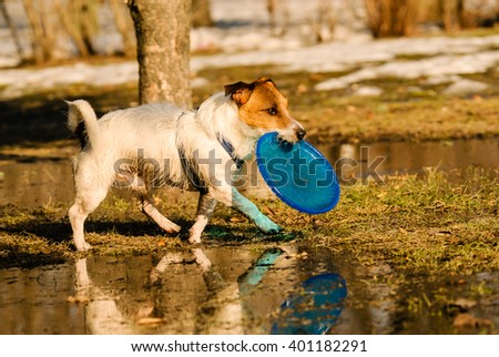 Dog walking around puddles of melting snow with flying disk - stock photo