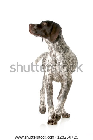 dog walking - german shorthaired pointer walking isolated on white background - stock photo