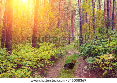Dog walking in the forest at sunset - stock photo