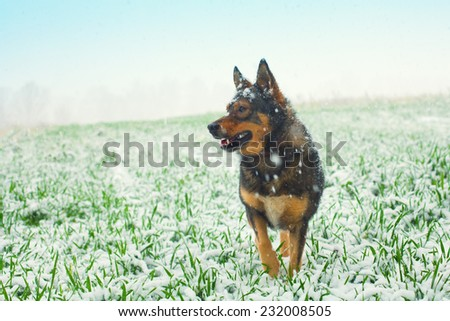 Dog walking on the green field cowered with first snow - stock photo