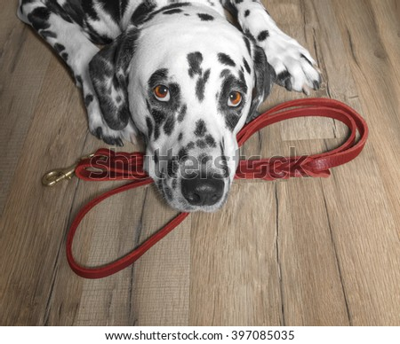 dog wants to walk and wait near the leash - stock photo